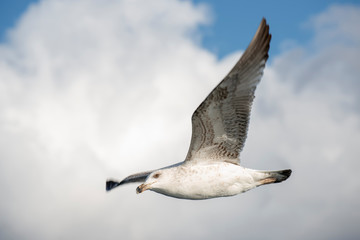 Flying Seagull With Clouds And Blue Sky