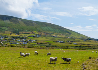 Irish Sheeps Meadow Irische Schafweide Slea Head Dingle
