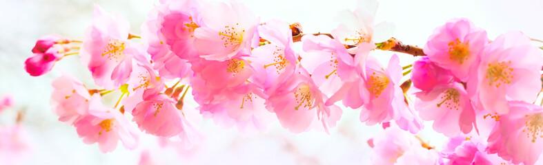 background with pink cherry blossom, sakura flowers