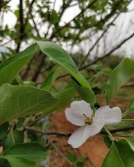 closeup of apple stem with flower