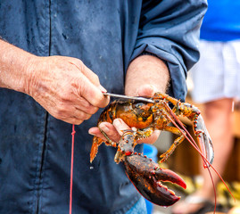 Maine Lobster Boat demo, how-to catch and band lobster from trap, handheld lobster