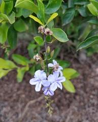 Duranta Erecta, Golden dewdrop, Crepping sky flowers, japan camillias, Pigeon berry purple flowers
