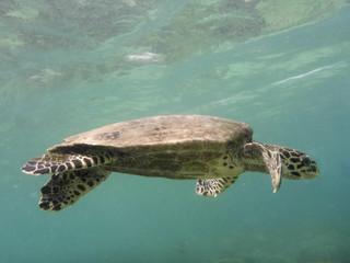 Unterwasser von einer Meeresschildkröte Fotografie vor Madagaskar Nosy komba
