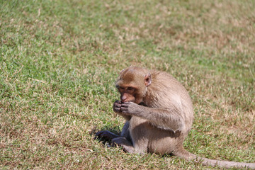 Crab-eating Macaque monkey sitting on the greensward.