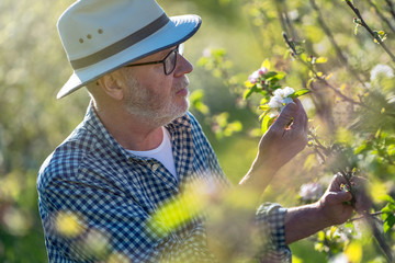 Apple grower checking the flowering of his apple trees