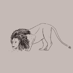 Lion drinking water. Vector sketch