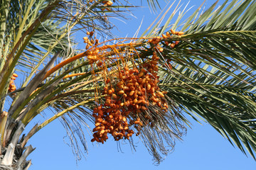 A bunch of the fresh ripe dates growing on a palm tree in front of the blue sky
