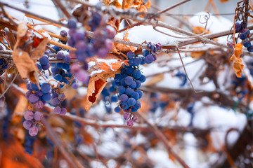 Blue grape vines covered snow.