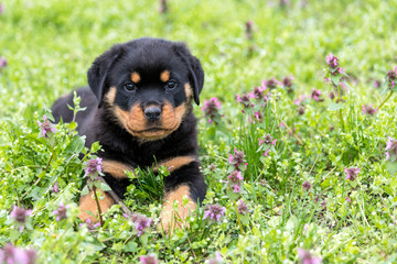 Small rottweiler puppy lying outdoors