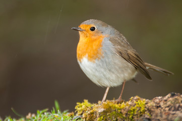 Robin - Erithacus rubecula, standing on the ground