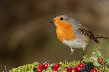 Robin - Erithacus rubecula, standing on the ground with wild berries