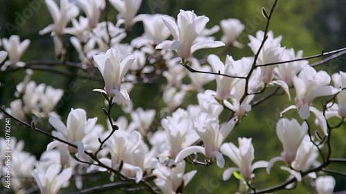 White Magnolia Flowers Flowers Of White Magnoliawhite Magnolia
