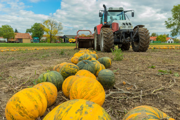Farmer harvest pumpkins with harvester.