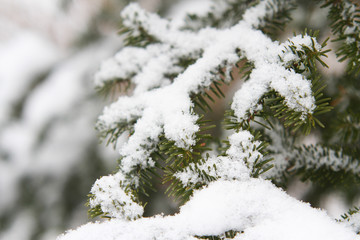 Beautiful view of white snow hanging on pine branch.