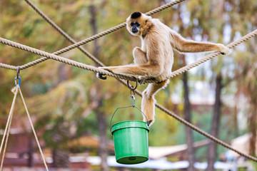 Buff-Cheeked Gibbon
