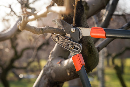pruning fruit trees with pruning shears