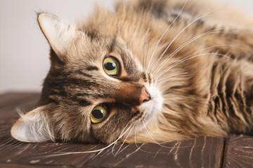 Portrait of a striped fluffy cat. Gray striped cute cat lying on its side on wooden boards on a light background close-up