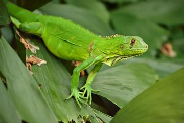 Iguana silvestre en Pipa