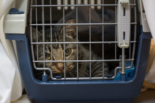 BrownTNR Tabby Cat in Recovery Cage After Spay or Neuter Surgery