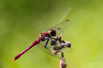 Red Dragonflys