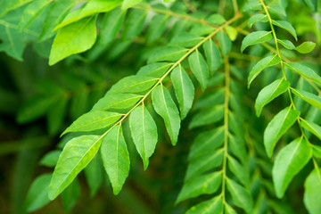 Curry leaves tree plant