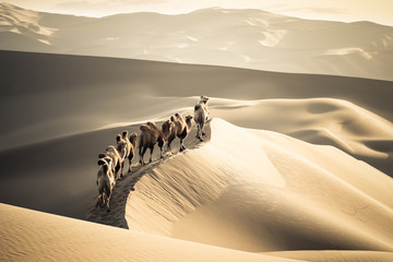 Photo sur Plexiglas Chameau desert camels team