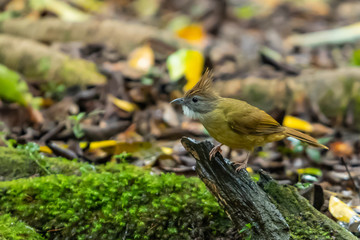 A Puff-throated Bulbul standing on the tree branch