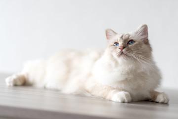 Portrait of beautiful sacred cat of burma Fototapete