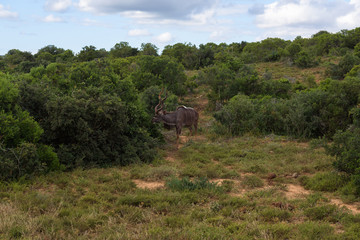 Greater kudu walking on the savanna near shrubs for protection in Addo Elephant Park, South Africa
