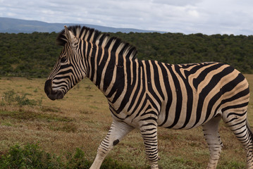 Beautifully striped zebra's wandering around in Addo Elephant Park, South Africa