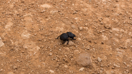 Flightless dung beetle searching for elephant droppings to bring home, Addo Elephant Park, South Africa