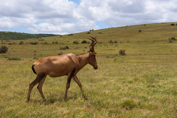 Red hartebeest grazing around on the savanna in Addo Elephant Park, South Africa