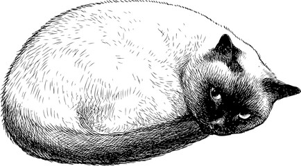 A hand drawing of a cute siamese cat
