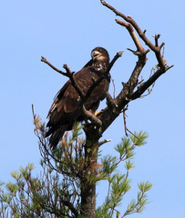 Eaglet Calling to Parent