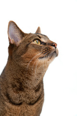 Studio shot on white seamless of a cute part-Abyssinian young male cat with stunning amber coloured eyes looking up