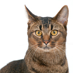 Studio shot on white seamless of a cute part-Abyssinian young male cat with stunning amber coloured eyes looking at the camera