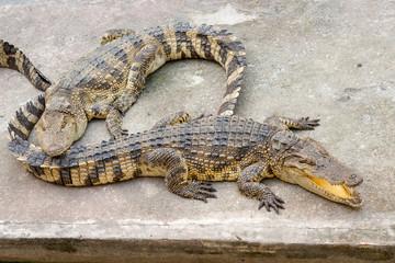 Two crocodiles lay on a concrete platform near the pool. Thailand