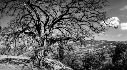 Bare tree on mountainous region Crete Greece Europe