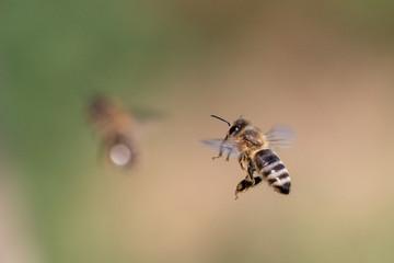 Biene im Flug vor unscharfem Hintergrund