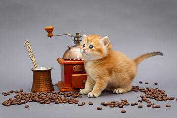 Red British kitten and coffee