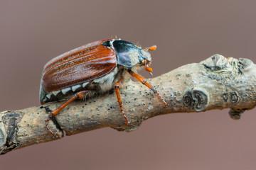 May bug - Melolontha melolontha