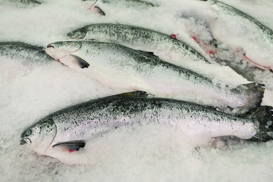 Salmons on ice