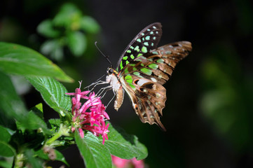 Tailed jay butterfly on flower