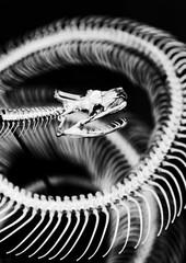 Snake Skeleton in Black and White