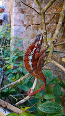 portrait of panther chameleon aka Furcifer pardalis in Andasibe-Mantadia National Park, Madagascar