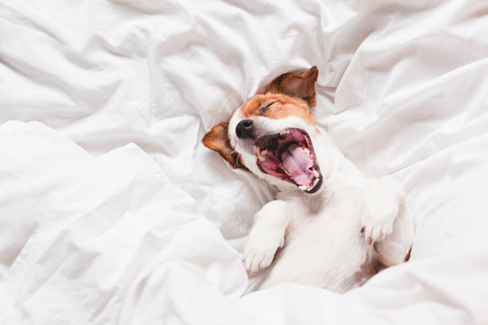cute dog sleeping and yawning on bed, white sheets.morning