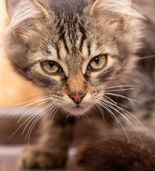 Portrait of a Maine Coon kitten