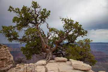 Old Pine Tree on the North Rim of the Grand Canyon