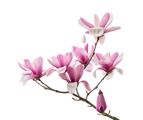 Poster de jardin Magnolia Pink magnolia flowers isolated on white background