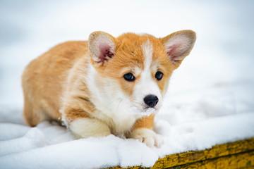 portrait of a corgi pembroke puppy